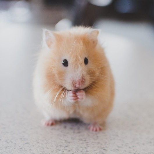 Hamster rubbing paws together